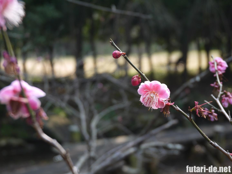 浜松城 松韻亭の梅