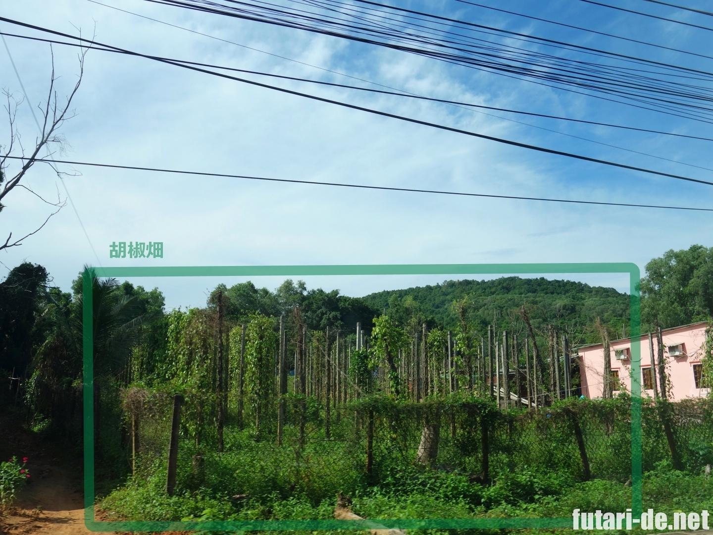 ベトナム フーコック島 胡椒畑