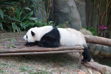 シンガポール リバーサファリ パンダ