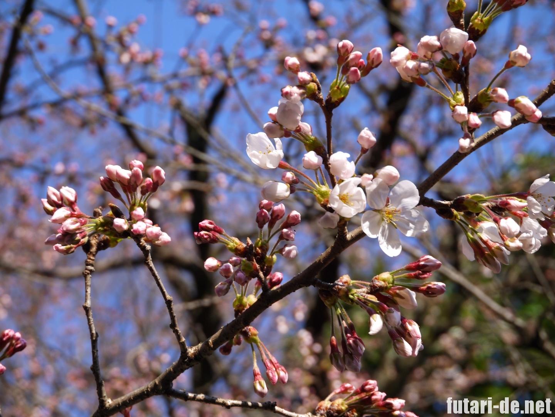 京都府 京都 京都御苑 桜