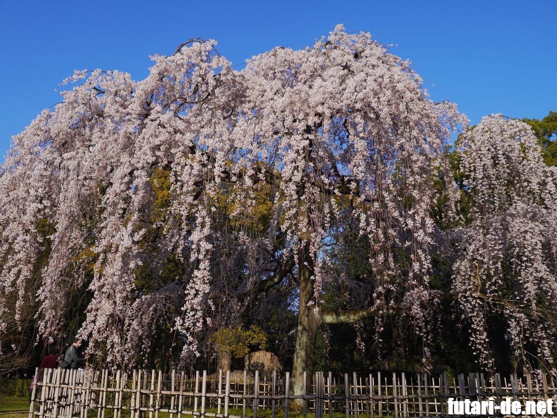 京都府 京都 京都御苑 出水の桜 枝垂桜