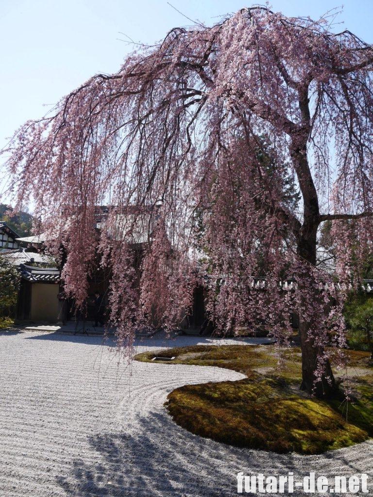 京都府 京都 高台寺 方丈前庭 桜 波心庭 枝垂れ桜