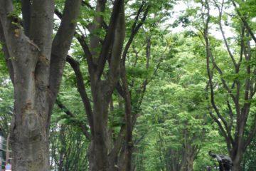 仙台 定禅寺通り ケヤキ並木 エミリオ・グレコ 夏の思い出