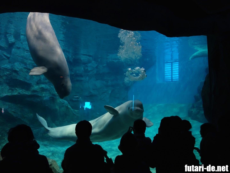 愛知県 名古屋市 名古屋港水族館 ベルーガ シロイルカ バブルリング