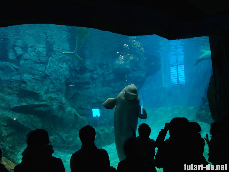 愛知県 名古屋市 名古屋港水族館 ベルーガ シロイルカ