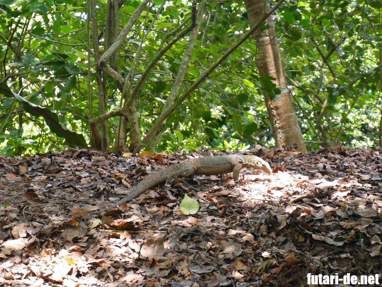 シンガポール 世界遺産 Botanic Gardens  シンガポール植物園 オオトカゲ